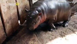 Newborn Pygmy Hippo Shown off at Hungarian Zoo for the First Time