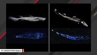 Marine Scientists Capture Glow-In-the Dark Sharks On Camera