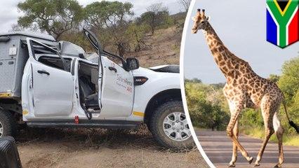 【サファリ】車にはねられたキリン 対向車の上に落下し、男性死亡 - トモニュース