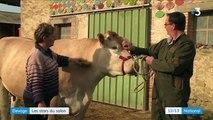Salon de l'agriculture : des bêtes de concours à Paris