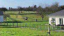 Un sanglier et un chien saffrontent dans un jardin de Vavincourt (55)