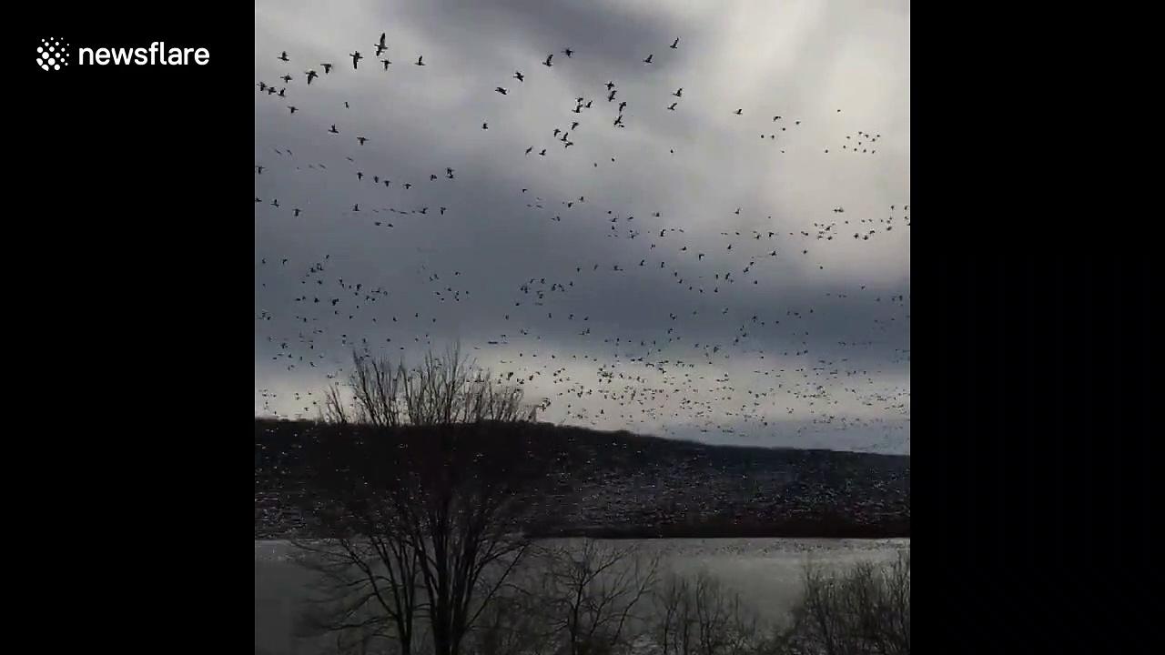 'Goose tornado!' Flock of migratory geese swarm Pennsylvania lake