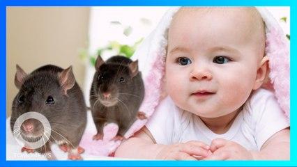 生後40日の女児 クマネズミに顔を食われる - トモニュース