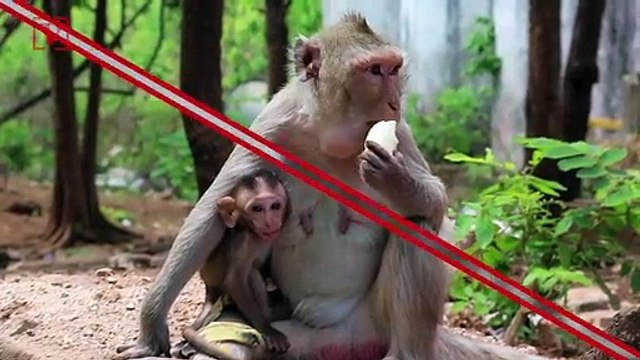 No Monkeying Around: Why Trump Will Need Protection from Wild Monkeys in India