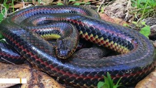 Elusive Rainbow Snake Spotted In Florida After 50 Years