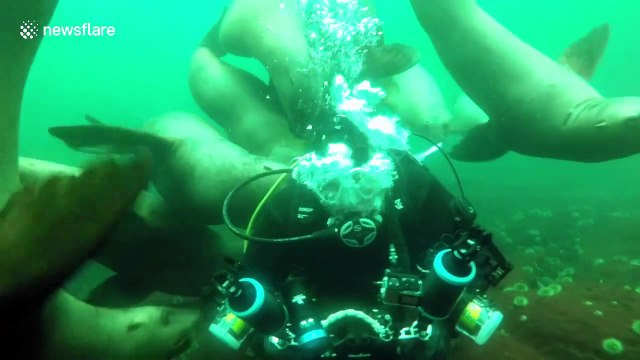 'Just like a group of puppies': Raft of curious sea lions swarm scuba diver off Vancouver's coast