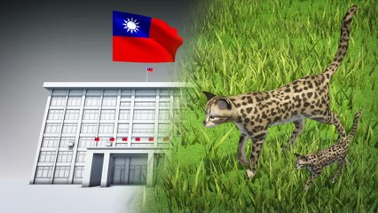 Taiwan's endangered leopard cats saved by road culverts
