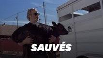 Joaquin Phoenix sauve une vache et son veau de l'abattoir, au lendemain des Oscars