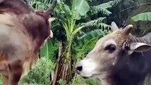 bangladeshi bull fight........extreme fight