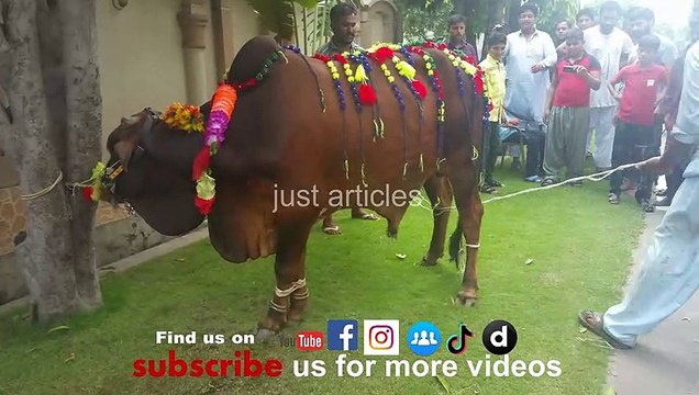 beautiful cow qurbani in b2 gujranwala