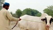 Cattle farms 2020 - cow walks - cow mandi -