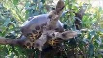 Ils croisent un anaconda en pleine sieste dans un arbre