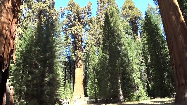 Incredible View Of General Sherman Tree, Sequoia National Park