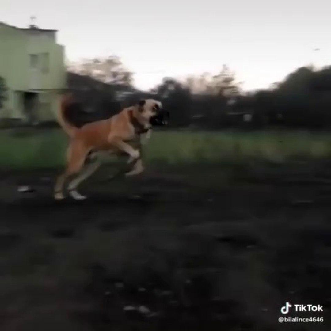 KARAPINAR ANADOLU COBAN KOPEGi - ANATOLiAN SHEPHERD DOG