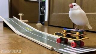 Il a appris à sa perruche à faire du skate