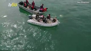 Dramatic Footage of Humpback Whale Being Rescued by Conservation Group