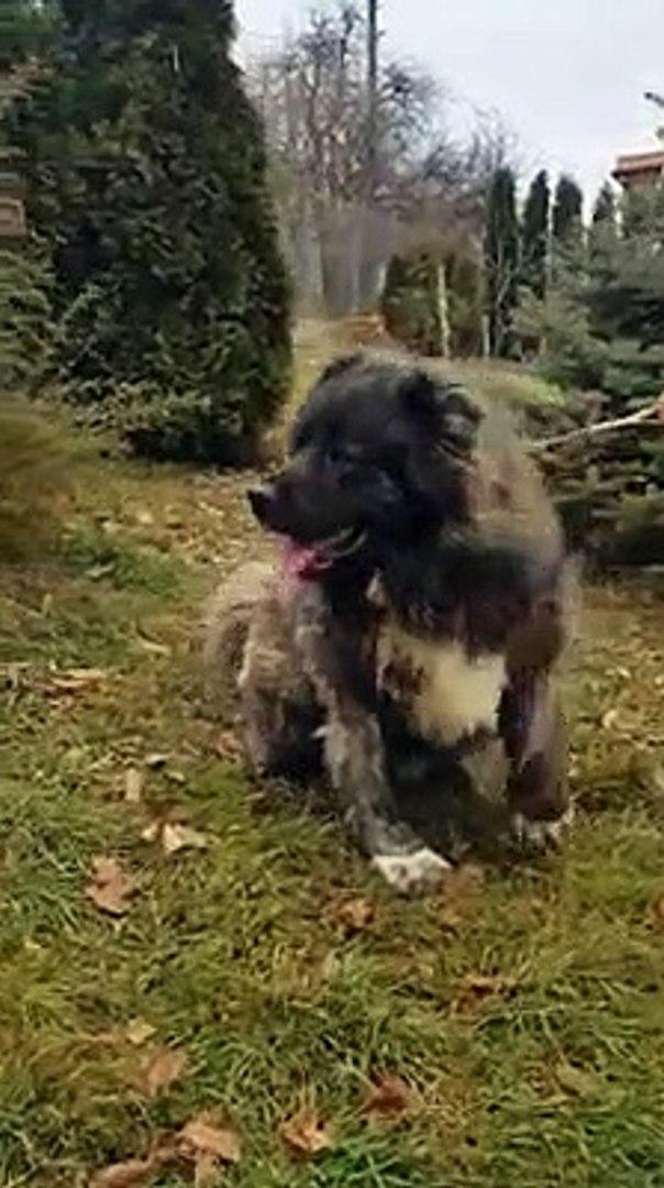 KAFKAS COBAN KOPEGi ile SAHiBi - CAUCASiAN SHEPHERD DOG