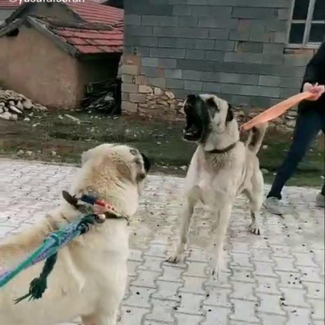ANADOLU COBAN KOPEKLERi KARSI KARSIYA - ANATOLiAN SHEPHERD DOG FACE TO FACE