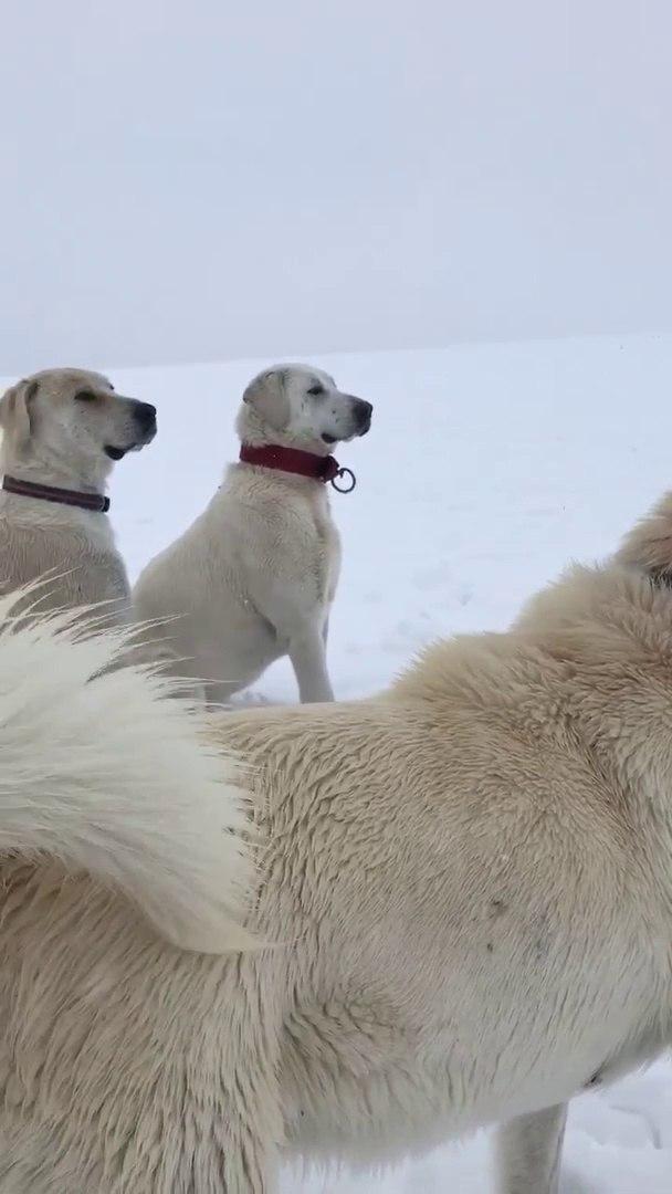 AKBAS COBAN KOPEKLERiNiN KARDA NOBET - AKBASK SHEPHERD DOGS