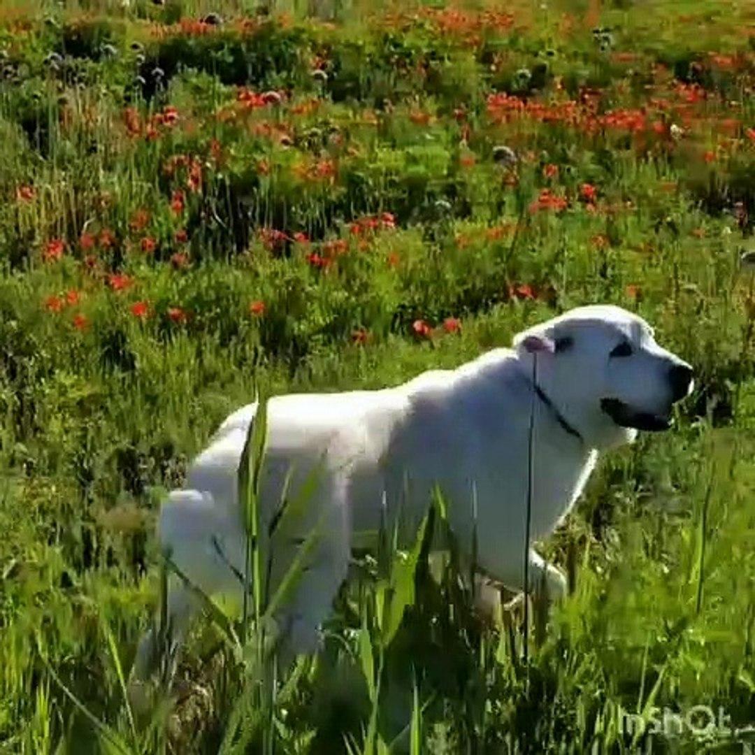 ALABAY KÖPEGi SABAH GUNESi GEZiNTiSi - ALABAi SHEPHERD DOG with WALK