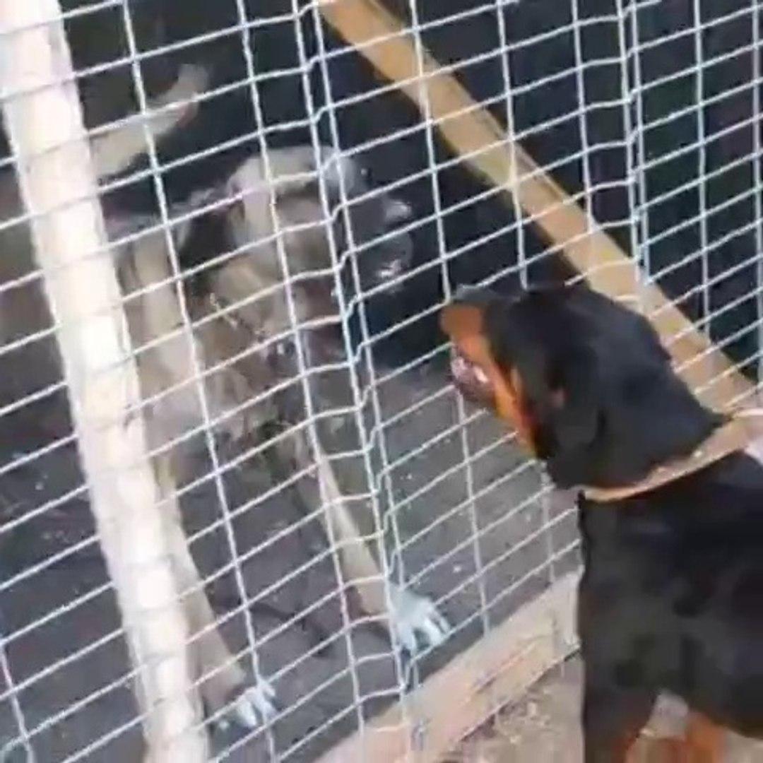 SiVAS KANGAL KOPEGi ve ROTTWEiLER ATISMA - KANGAL DOG VS ROTTWEiLER