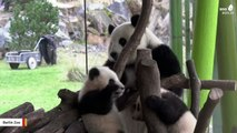 Panda Mom Tells Sparring Cubs To Knock It Off