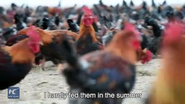 Chinese farmer and his 70,000 chickens become online celebrities