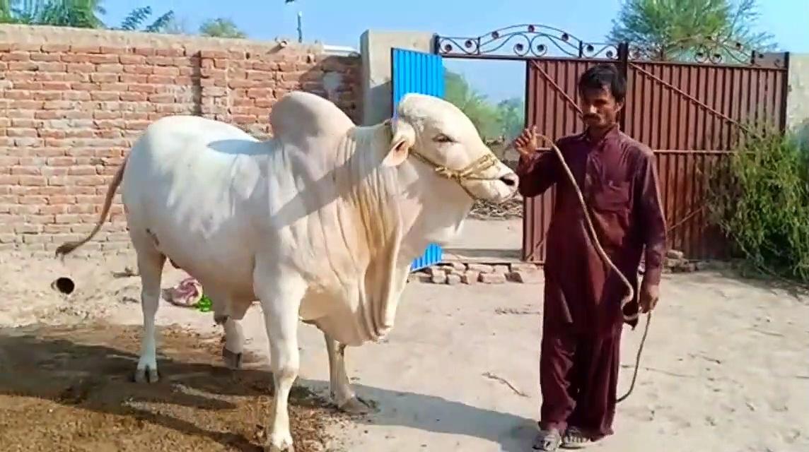 Cow cattle farms 2020 – cow exhibition 2020 – cow mandi