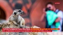 Au zoo de Lille, la mystérieuse disparition d'un bébé suricate