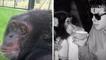 Le sanctuaire des grands singes : une seconde vie