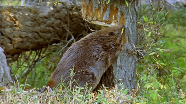 How Beavers Build Dams - Leave it to Beavers - PBS