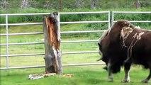 Ce bison montre sa force en fonçant contre un tronc d'arbre