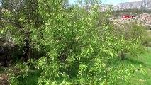 Mersin sifilke'de yılın ilk çağla hasadı başladı