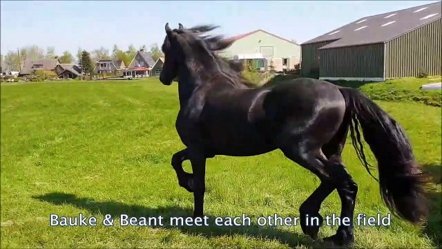 Friesian horse, stallions_colts meet each other in the field