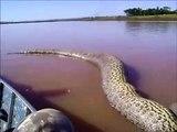 Ce specimen d'anaconda est monstrueux