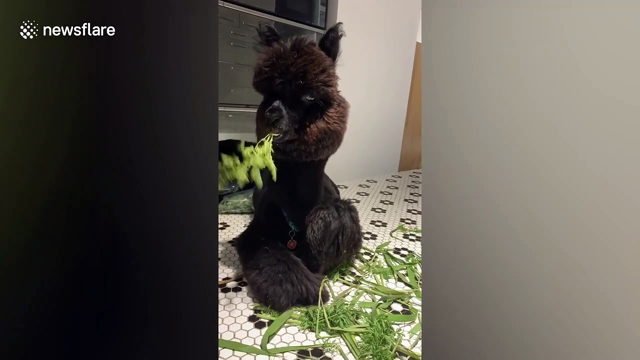 Extremely fluffy alpaca takes on her favourite vegetables