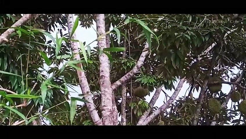 Durian Lokal Pujer Bondowoso: Ukuran Buah Kecil, Masa Panen Lebih Lama