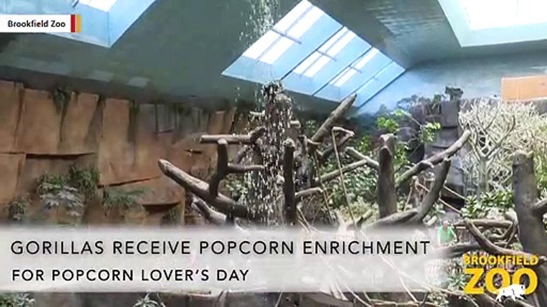 Here's Proof Gorillas Love Popcorn