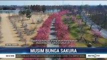 Musim Bunga Sakura di Tengah Virus Corona