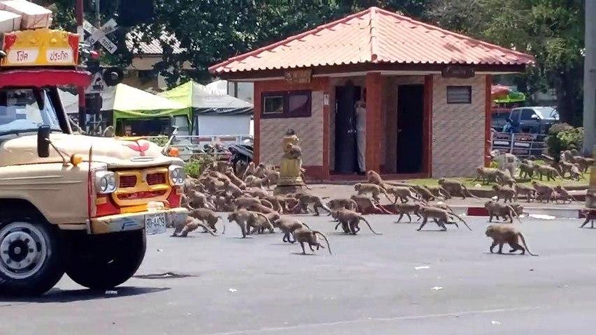 Cientos de monos hambrientos  por el coronavirus pelean por comida en Tailandia
