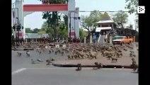 Hundreds of violent monkeys roam Lupburi, Thailand, foraging for food