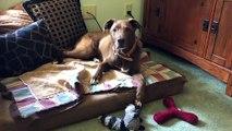 Dash enjoying her Green Cow Rawhide Chew | PuppySimply