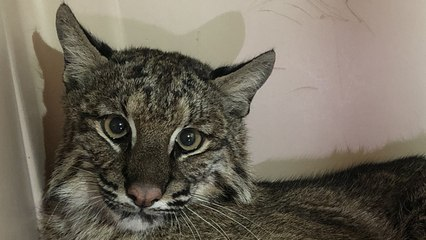 Injured Bobcat Goes Outside