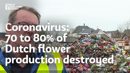 Coronavirus: 70 to 80% of Dutch flower production destroyed