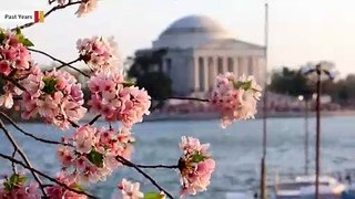 Coronavirus Turns DC's World-Famous Cherry Blossom Into Drive-Thru Experience