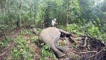 Réveil d'un éléphant après une anesthésie... Impressionnant