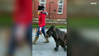 Miniature Pony Helps Deliver Supplies During Quarantine