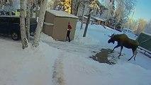 Un élan énorme rend visite à cet habitant de l'Alaska... qui se réfugie dans l'abris à poubelles