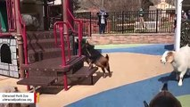 Goats Take Over Empty Kids Playground And Have A Ball