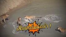 เจ้าป่าภาษาอะไร.. เสือตัวใหญ่ 4 ตัว รุมจับเป็ดน้อยตัวเดียวยังทำไม่ได้